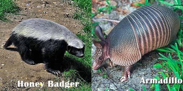 Honey Badger dan Armadillo