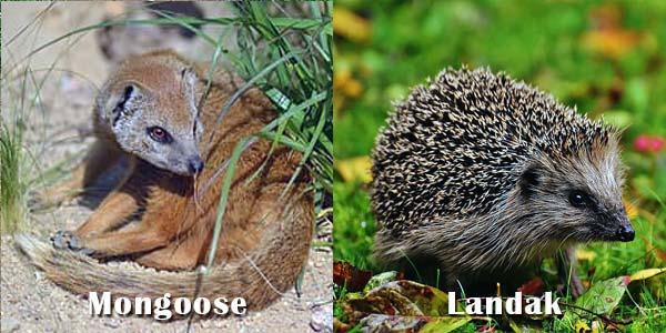 Mongoose dan Landak