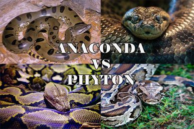 Ular Anaconda dan Phyton